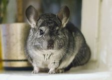Grey chinchilla is sitting and looking at you. Cute animal and a. Dorable pet. Fluffy creature that loves you Royalty Free Stock Photo