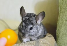 Grey chinchilla is sitting and looking at you. Cute animal and a. Dorable pet. Fluffy creature that loves you Royalty Free Stock Images