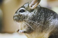 Grey chinchilla is sitting and looking at you. Cute animal and a. Dorable pet. Fluffy creature that loves you Royalty Free Stock Photography
