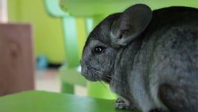 Grey Chinchilla-zitting op groene stoel stock videobeelden