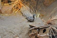 Grey chipmunk. A grey chipmunk outside its burrow stock photos