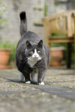 Grey chubby cat Royalty Free Stock Photos