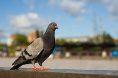 Grey city pigeon Stock Image