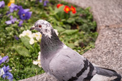 Grey City Pigeon Royalty Free Stock Photography