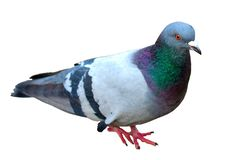 Grey City Pigeon. Isolated On White Background. Close Up Grey DoGrey City Pigeon. Isolated On White Background. Close Up Grey Dove Royalty Free Stock Image