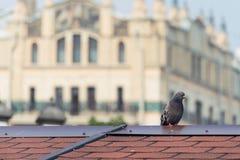 Grey City Pigeon Standing On-Rot-Ziegeldach Stockbild