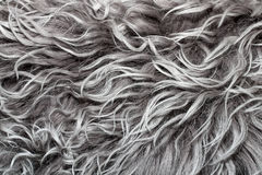 Grey coat with curly goat fur with hairs Stock Photos