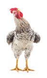 Grey cock. royalty free stock images