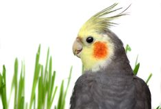 Grey Cockatiel Isolated with green grass Stock Photos
