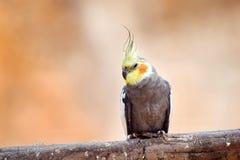 Grey Cockatiel Nymphicus Hollandicuson Sitting auf Niederlassung lizenzfreie stockfotografie
