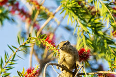 Grey color Squirrel sits on tree branch with colorful background Royalty Free Stock Photos