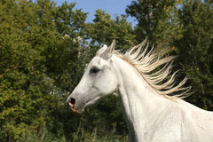 Grey colored arabian horse canter on pasture Royalty Free Stock Photography