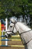 Grey colored beautiful jumping horse canter with her rider. Head shot closeup of a young horse when gallop on show jumping event stock image
