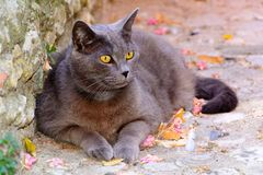 Grey colored cat lying down with bright yellow eyes royalty free stock photos