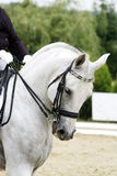 Grey colored dressage horse under saddle with unidentified rider Royalty Free Stock Photo