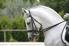 Grey colored dressage horse under saddle with unidentified rider Stock Photos