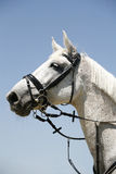 Grey colored sport horse portrait during competition Stock Image