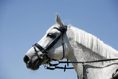 Grey colored sport horse portrait during competition royalty free stock images