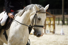 Grey colored stallion canter with rider Stock Photography