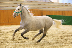 Grey colored youngster lipizzan horse galloping in riding hall Royalty Free Stock Images