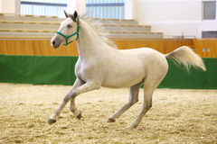 Grey colored youngster lipizzan horse galloping in riding hall Royalty Free Stock Image
