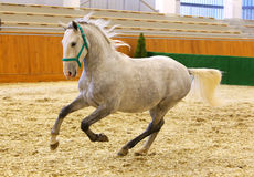 Grey colored youngster lipizzan horse galloping in riding hall Stock Images