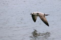 Grey coloured seagull flying low over the sea. This grey coloured seagull is flying close to the water so it`s reflection is visible though not clear in the royalty free stock image