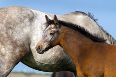 Grey colt portrait Royalty Free Stock Photography