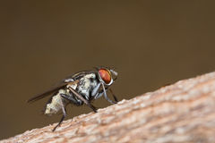 A grey common fly Stock Images