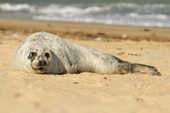 Grey common seal on beach Stock Image