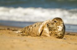 Grey common seal on beach Royalty Free Stock Photography