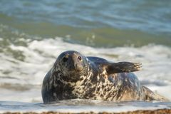Grey common seal  playing in sea Royalty Free Stock Images