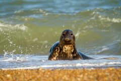 Grey common seal  playing in sea Royalty Free Stock Photography
