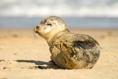 Grey common seal pup cub on sandy beach Stock Image