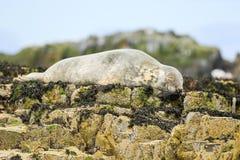 Grey common seal on rocks Royalty Free Stock Image