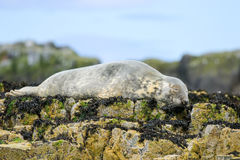 Grey common seal on rocks Royalty Free Stock Photography