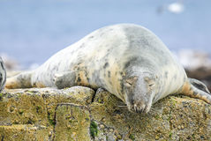 Grey common seal on rocks Stock Images