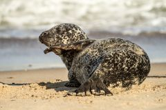 Grey common seal on sandy beach Stock Photo