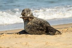 Grey common seal on sandy beach royalty free stock photos