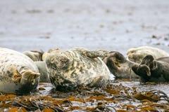 Grey common seals on beach Stock Photos