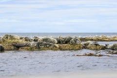 Grey common seals on beach Royalty Free Stock Photo