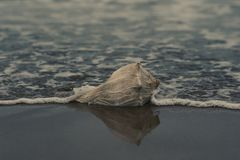 Grey Conch Shell on Shore stock photo