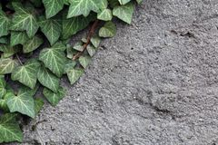 Free Grey Concrete Wall With Green Ivy Leaves Stock Photos - 144733943