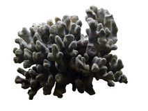 Grey coral. Ancient petrified coral on the white background Stock Image