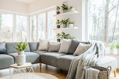 Grey corner couch with pillows and blankets in white living room. Interior with windows, glass door and fresh tulips on an end table royalty free stock images