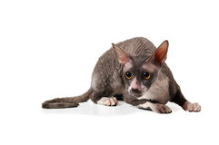 Grey cornish rex cat Royalty Free Stock Photo