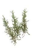 Grey Cotton Lavender (Santolina chamaecyparissus) Stock Images