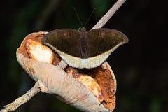 Grey Count-Schmetterling Lizenzfreies Stockbild