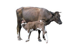 Grey cow with calf isolated on the white Royalty Free Stock Photo