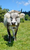 Grey cow Royalty Free Stock Images